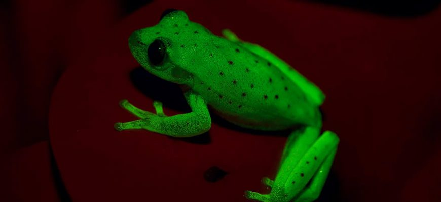 Argentine Scientists Discover Glowing Frog
